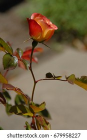 Beautiful yellow and red single rose.