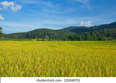 beautiful yellow rice paddy field with blue sky