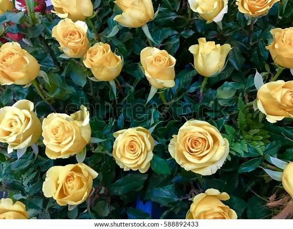 Beautiful yellow rose background