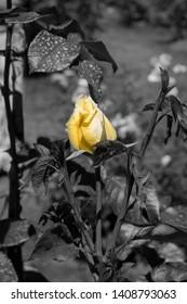 Beautiful Yellow rose bud in ash background.