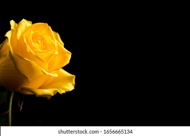 Beautiful yellow rose bud close up on black background. Abstract backdrop for seasonal cards, posters, blogs and web design. Romantic and love concept. Copy space