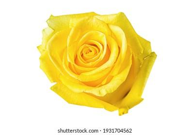 Beautiful yellow rose bud isolated on white background.