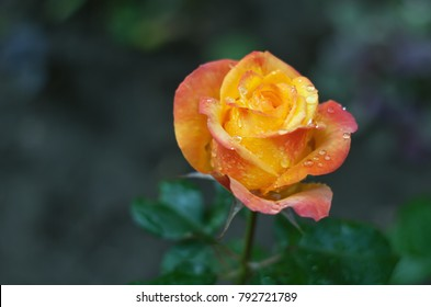 Beautiful yellow rose with few red petals and water drops