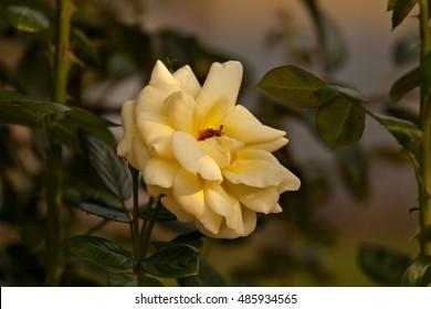 Beautiful yellow rose in the garden