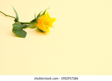 Beautiful yellow rose with green leaves and petals on pastel yellow background