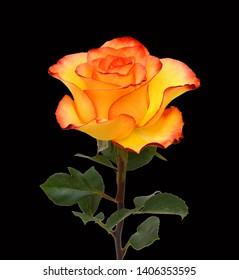 Beautiful yellow rose isolated on black background