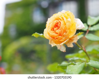 Beautiful yellow rose in the Japanese garden for background