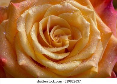 Beautiful yellow rose in the morning dew