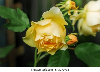 Beautiful yellow rose on the Bush in the garden.