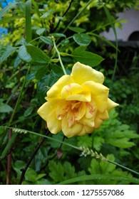 Beautiful Yellow Rose Wallpepar