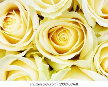 Beautiful yellow roses background closeup
