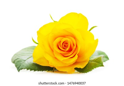 Beautiful yellow roses isolated on a white background.