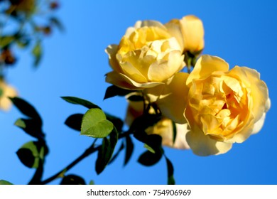 Beautiful yellow roses on blue sky background, climbing roses, sunny day in the garden