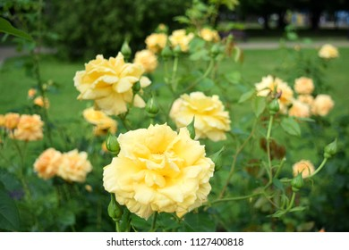 Beautiful yellow roses in the park. Morshyn, Ukraine.