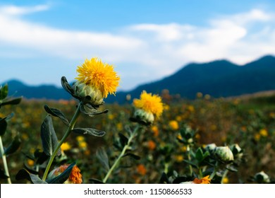 beautiful yellow safflowe blooming in nature background, Carthamus tinctorius