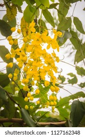 Beautiful yellow shower flower (Cassia Fistula) on tree. Cassia fistula is also known as the golden rain tree.