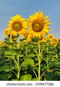 A beautiful yellow sunflower field.