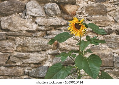 Beautiful yellow sunflower on old stone wall background with copy space