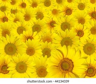beautiful yellow sunflowers