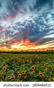 Beautiful yellow sunflowers bloom on a farm beneath a colorful and dramatic cloudy sky at sunset.