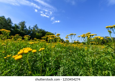 beautiful yellow tansy in meadow against sky