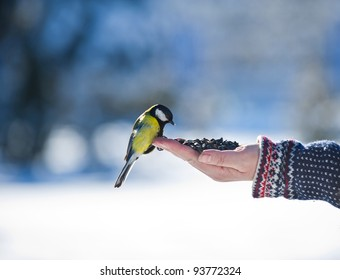 Beautiful yellow tomtit eating from a hand