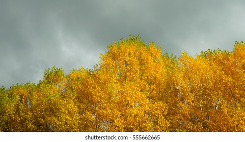 Beautiful yellow trees on a stormy day