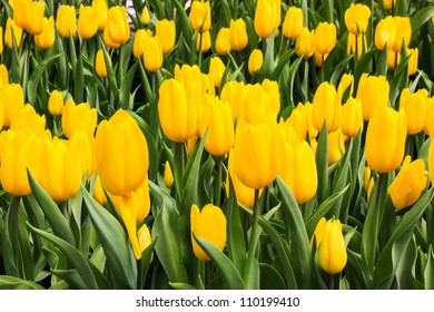 beautiful yellow tulip field