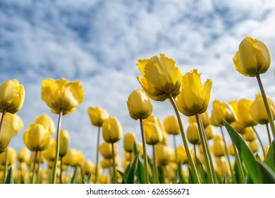 Beautiful yellow tulip flowers during spring under a blue sky with clouds