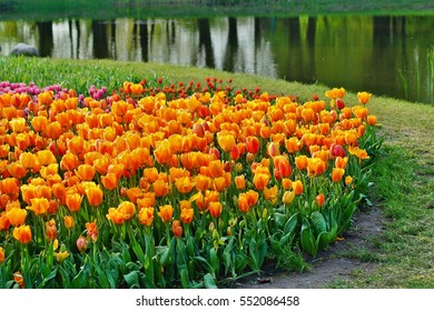 Beautiful yellow tulips in garden - soft focus ,useful as a background