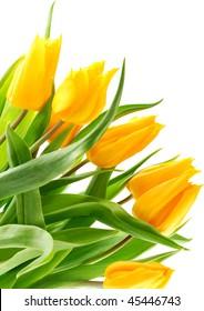 Beautiful yellow tulips isolated on white background.