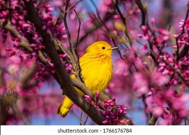 Beautiful Yellow Warbler Perched In Contrasting Vivid Pink Flowering Shrub