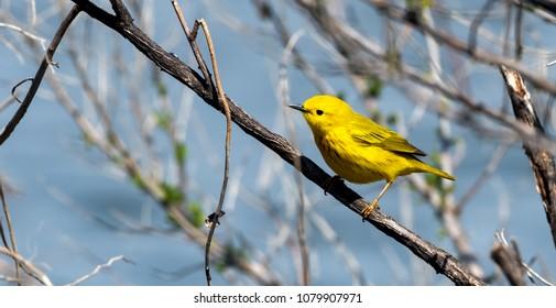 Beautiful yellow warbler portrait