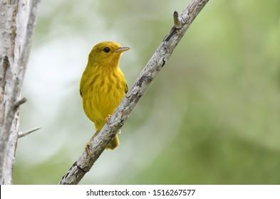 Beautiful Yellow Warbler (Setophaga petechia) perched on tree branch