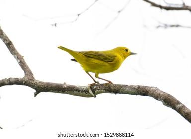 Beautiful Yellow Warbler (Setophaga petechia) perched on a tree branch