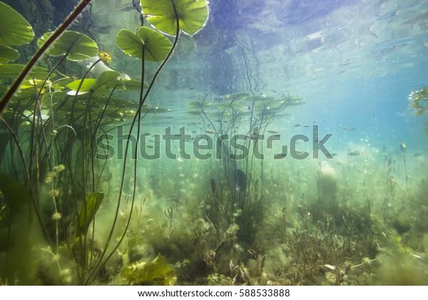 Красивая желтая водяная лилия (nuphar lutea) в прозрачном фунте. Подводный выстрел в озере. Природная среда обитания.