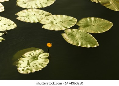 Beautiful yellow water-lily in the pond.  Nuphar lutea or brandy-bottle plant. Aquatic plant grows in shallow water and wetlands. Place for text.