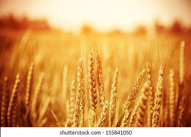 Beautiful yellow wheat field, autumnal nature, countryside, crop cultivation, dry rye stems, harvest season, healthy nutrition concept