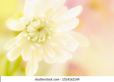 A beautiful yellow and white daisy flower on a soft blurred background with room for text.