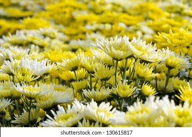 Beautiful yellow and white floral of Chrysanthemum Morifolium in field plantation, Flower garden farming business in greenhouse on Doi Inthanon mountain, Chiang Mai, Agriculture industry in Thailand