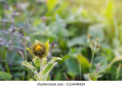 Beautiful yellow wild flower close-up in grass