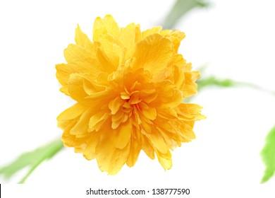 Beautiful yellow wild  rose .Closeup.Isolated
