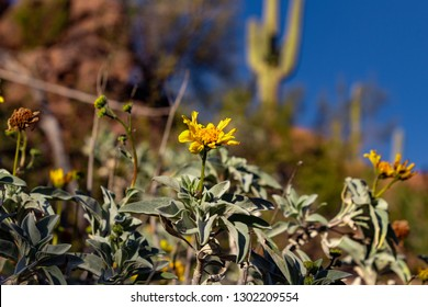 Beautiful yellow wildflowers, brittle bush, Encelia farinose and saguaro cactus, Carnegiea gigantean in a Sonoran Desert landscape. Green brown and blue colors. Pima County, Tucson, Arizona. 2019.