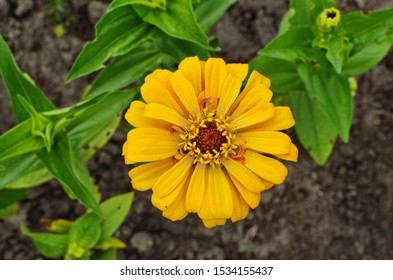 Beautiful yellow Zinnia flower with green leaves background, Zinnia flower blooming in the garden.