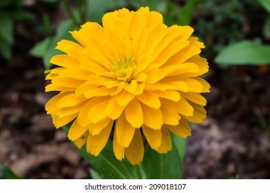 beautiful yellow zinnia  flower in summer