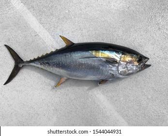 Beautiful Yellowfin Tuna caught Deep Sea Fishing Sushi fish