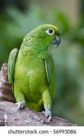 Beautiful Yellow-headed amazon Parrot