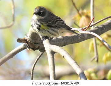 A beautiful Yellow-Rumped Warbler perched on a branch in a Carolinian Forest.