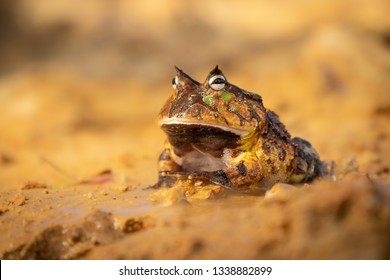 Beautiful and yet weird exotic frog sitting on a wet sand. Amazing wild creature. Calm and observing.