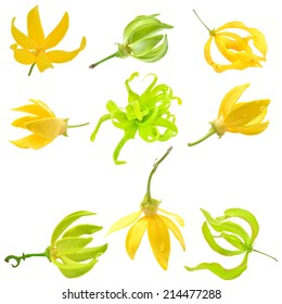Beautiful Ylang-Ylang Flower on white background